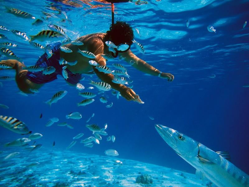 snorkeling-feeding-barracuda-fish-in-tahiti-325776